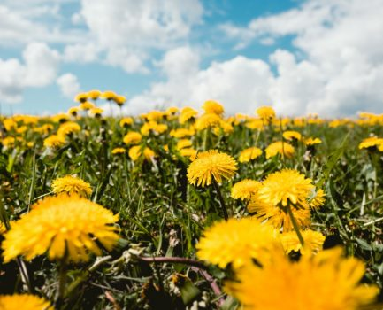 June Herb of the Month: Dandelion