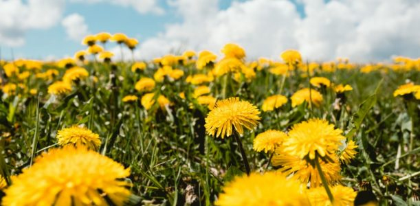 Herb of the Month – June: Dandelion