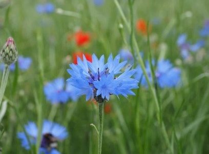 Herb of the Month – September: Chicory