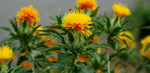 Herb of the Month – October: Safflower