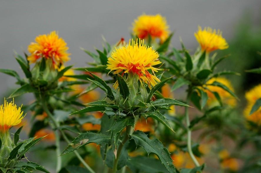 Herb of the Month – October: Safflower